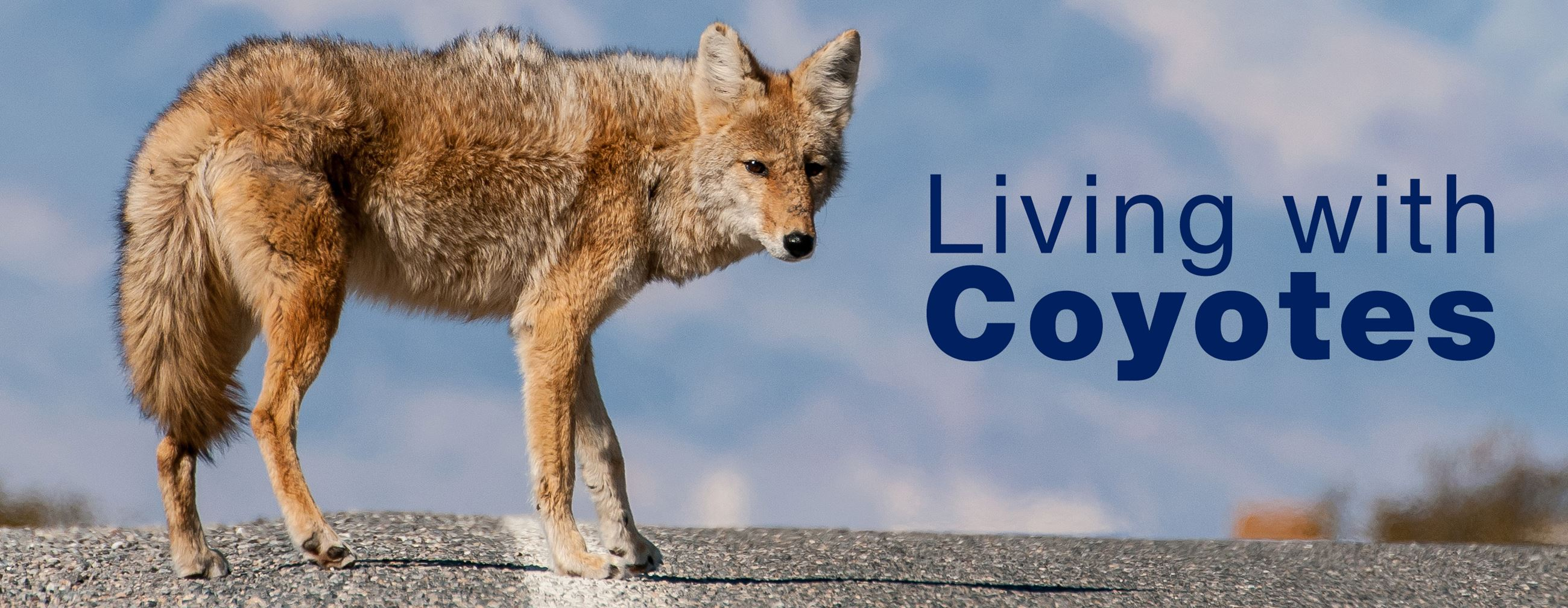 living with coyotes 3